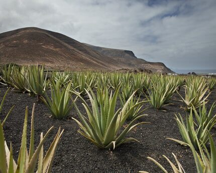 Aloe Vera: one of the wonders of Lanzarote