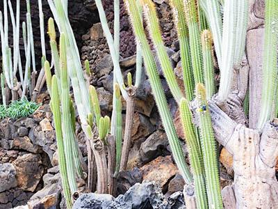 Cactus Jameos del Agua