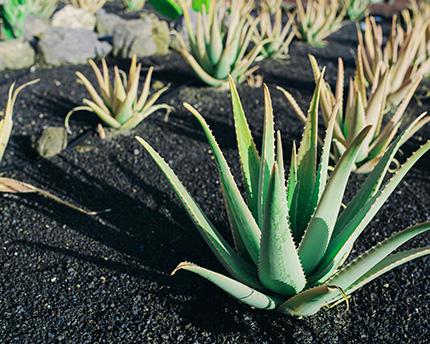 Aloe Vera, un milagro en Lanzarote