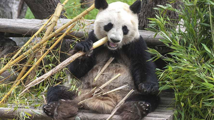 Oso panda en el Zoo de Madrid
