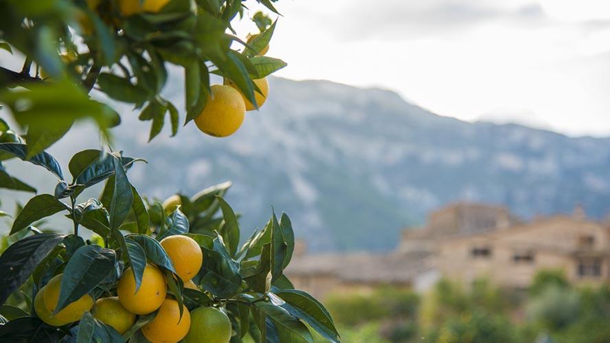 Naranjos de Ecovinyassa