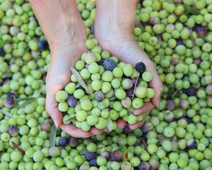 Aceite de Mallorca, tafonas tradicionales rodeadas de olivos