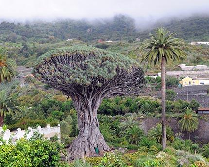 Qué ver en Icod de los Vinos: un árbol centenario y cientos de mariposas