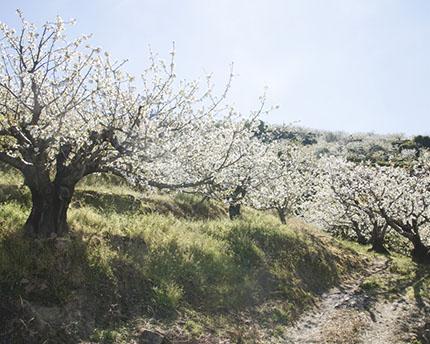 Cerezos Extremadura