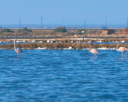 flamencos en las marismas
