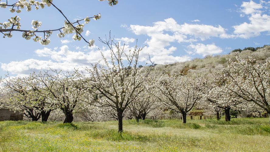 Floración del valle del Jerte