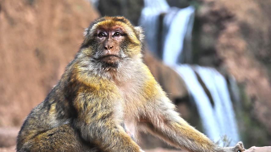 Macacos salvajes en las Cascadas