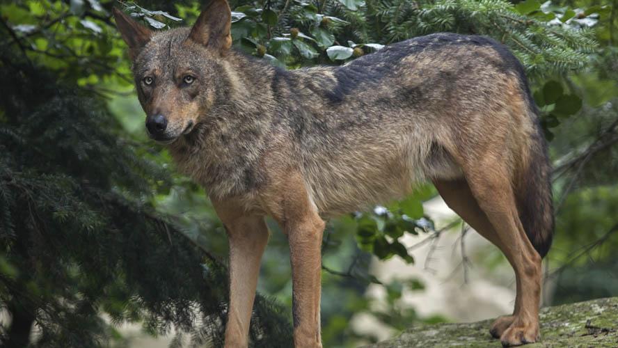 Lobo en el Parque de Lacuniacha