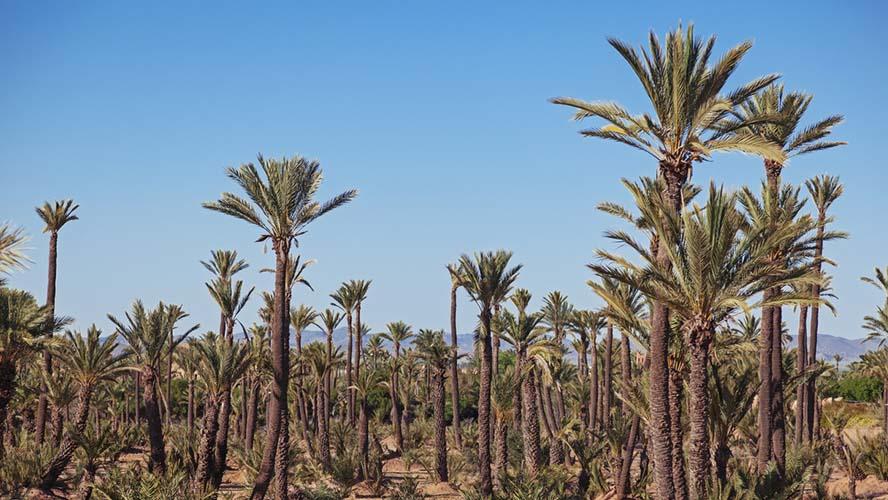 Conoce el Palmeral de Marrakech