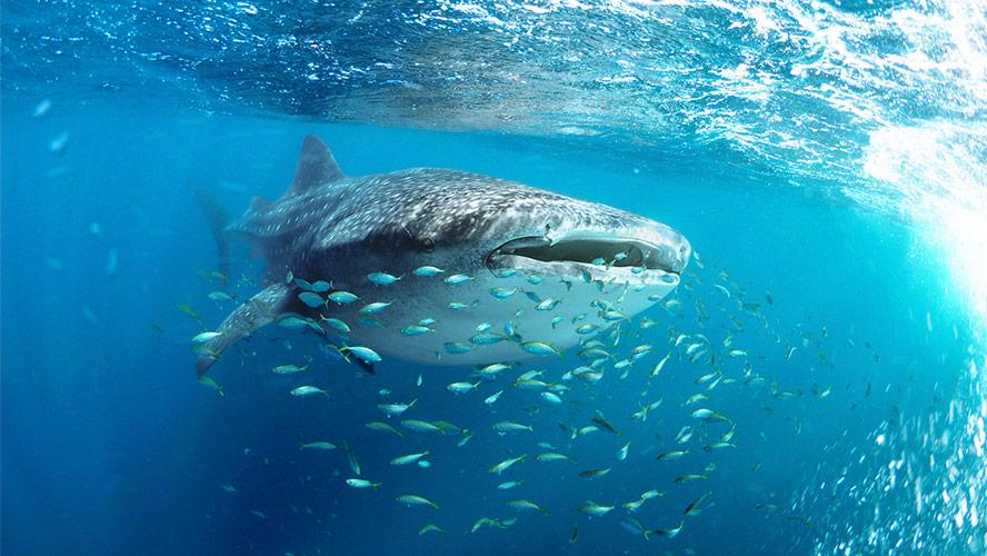 tiburones-ballena